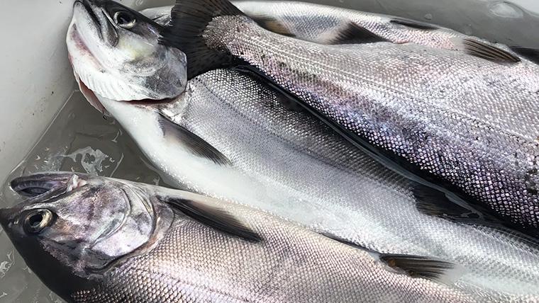 絶品「淡海の宝石」ビワマスの釣り方